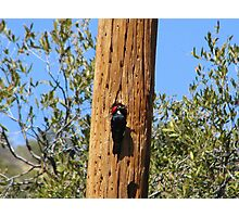 Acorn Woodpecker Photographic Print