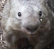 Wombat by Martina Nicolls