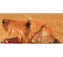 Airedale watching command Photographic Print