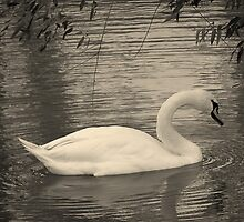 Swan Rippling the Water in Black in White by coribeth