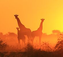 Giraffe - African Wildlife Background - Golden Sunset Bliss by LivingWild