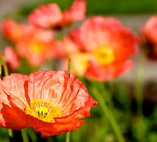 Poppies by chriso