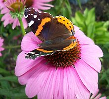 Red Admiral Butterfly on Cone Flowers by coribeth