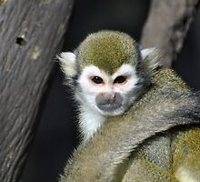 spider monkey by Aaron Siebens