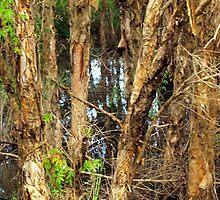 Paper Bark Trees (Melaleuca quinquenervia) by Wayne  Nixon  (W E NIXON PHOTOGRAPHY)
