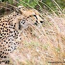 THE CHEETAH - Acin0nyx jabatus, in hiding... by Magriet Meintjes