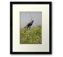Australian Noisy Minor Bird Framed Print