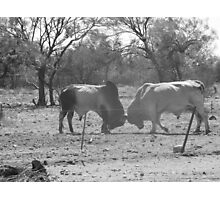 Old School Bullfight Photographic Print