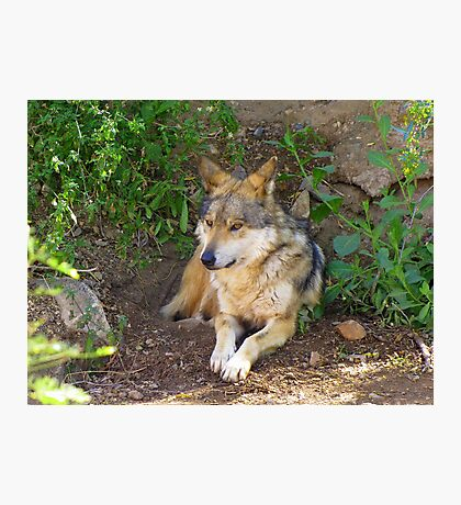 Mexican Grey Wolf ~ II  Photographic Print