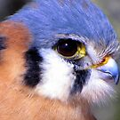 American Kestrel ~ Profile, Up Close by Kimberly P-Chadwick