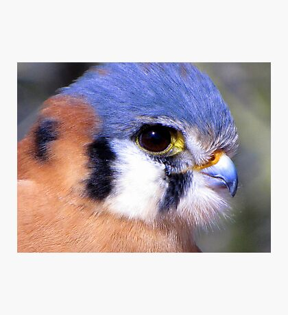 American Kestrel ~ Profile, Up Close Photographic Print