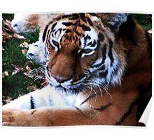 Tiger Lounging Poster