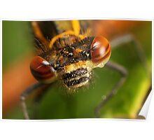 Pyrrhosoma nymphula - Large Red Damselfly Poster