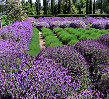 Lavandula by Chris Armytage™