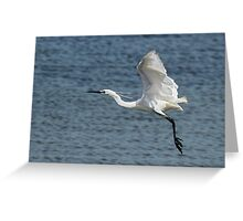 Little Egret (Egretta garzetta, immaculata)  Greeting Card
