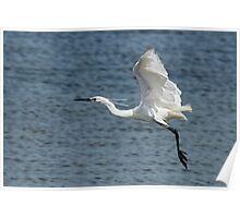 Little Egret (Egretta garzetta, immaculata)  Poster