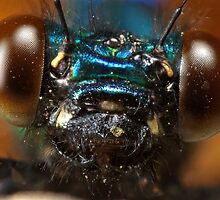 Calopteryx splendens - Banded Demoiselle at 4.5X life size 3 shot focus stack by Scott Thompson