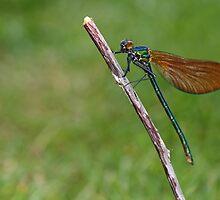 Calopteryx splendens - Banded Demoiselle by Scott Thompson