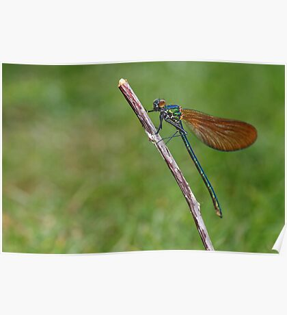 Calopteryx splendens - Banded Demoiselle Poster
