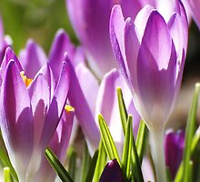 First Signs of a Purple Spring by Dennis Rubin IPA