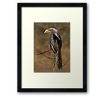 Yellow Billed Hornbill Framed Print
