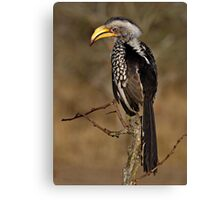 Yellow Billed Hornbill Canvas Print