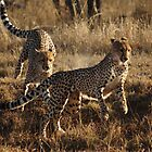 Brothers playing - Djuma Game Reserve by Bassy