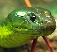Australian Tiger Snake by Clive