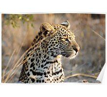 Leopard portrait - Djuma Game Reserve Poster