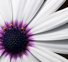 White Daisy - San Diego Botanic Garden by bullsAndPei