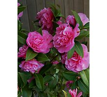 Camellias at Starbuck's Photographic Print