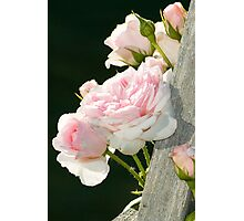 Climbing Rose Photographic Print