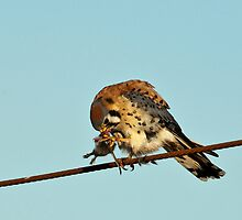 American Kestrel with Prey by David Friederich