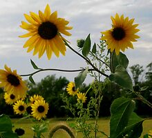 Sunflowers In The Wind by Linda Miller Gesualdo