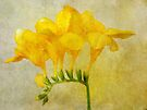Vintage Yellow Freesia by Astrid Ewing Photography