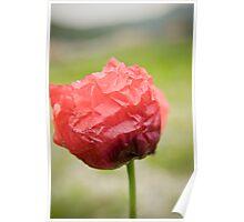 Red Poppy 2 Poster