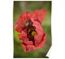 Red Poppy 4 Poster