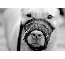 Muzzled Pooch (B&W) Photographic Print