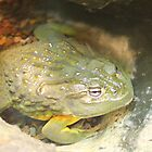 African Bullfrog by Laurel Talabere