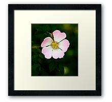 Dog Rose Framed Print