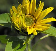 If I Listen Really Hard, I Swear I Can Hear The Sunflower Laughing With The Sun! by Tracy Faught