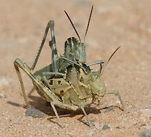 Grasshopper Romance by William C. Gladish