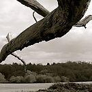 Dead Tree by Richard Pitman