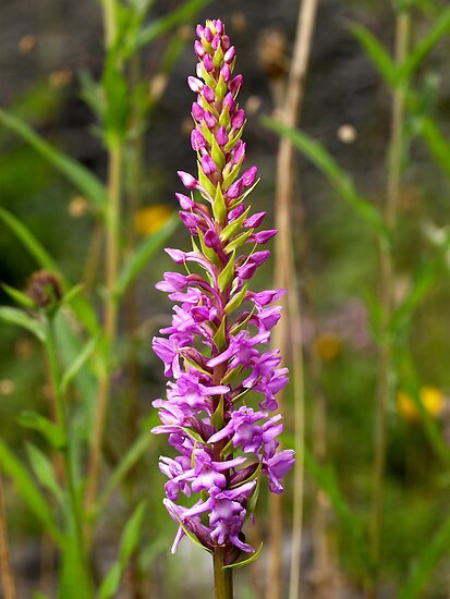 Fragrant Orchid by Roger Butterfield