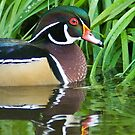 Wood Duck in the Reeds by Tracy Riddell