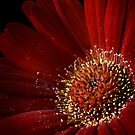 Gerbera by Mandy Disher