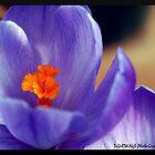 Blue Light Parade-Crocus by tigerwings