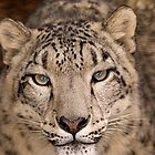 Snow Leopard portrait by buttonpresser
