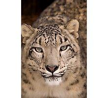 Snow Leopard portrait Photographic Print