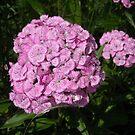 Pink Sweet William by debbiedoda